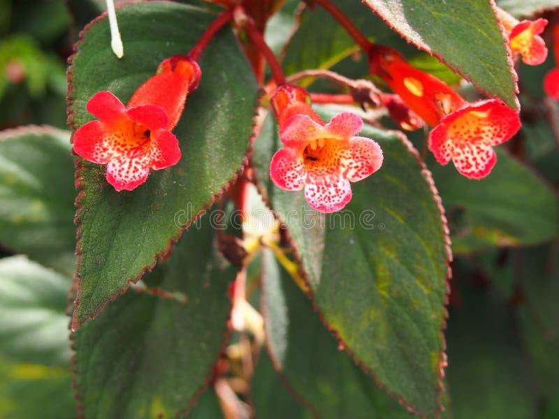 Röda tropiska blommor och röd kant för sidor royaltyfri foto