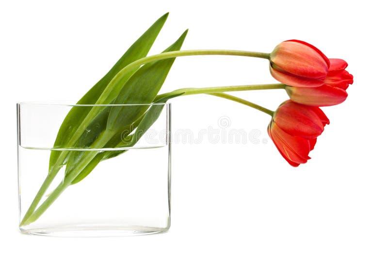 Download Röda tulpan fotografering för bildbyråer. Bild av härlig - 19791381