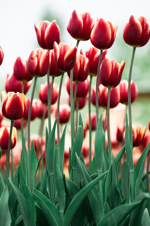 Röda tulpan för Incredibly härlig vår royaltyfri bild