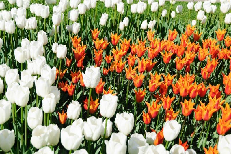 Röda tulpan härliga buketttulpan färgrika tulpan royaltyfria foton