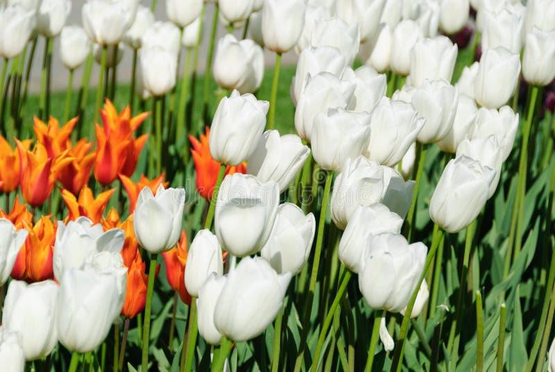 Röda tulpan härliga buketttulpan färgrika tulpan fotografering för bildbyråer