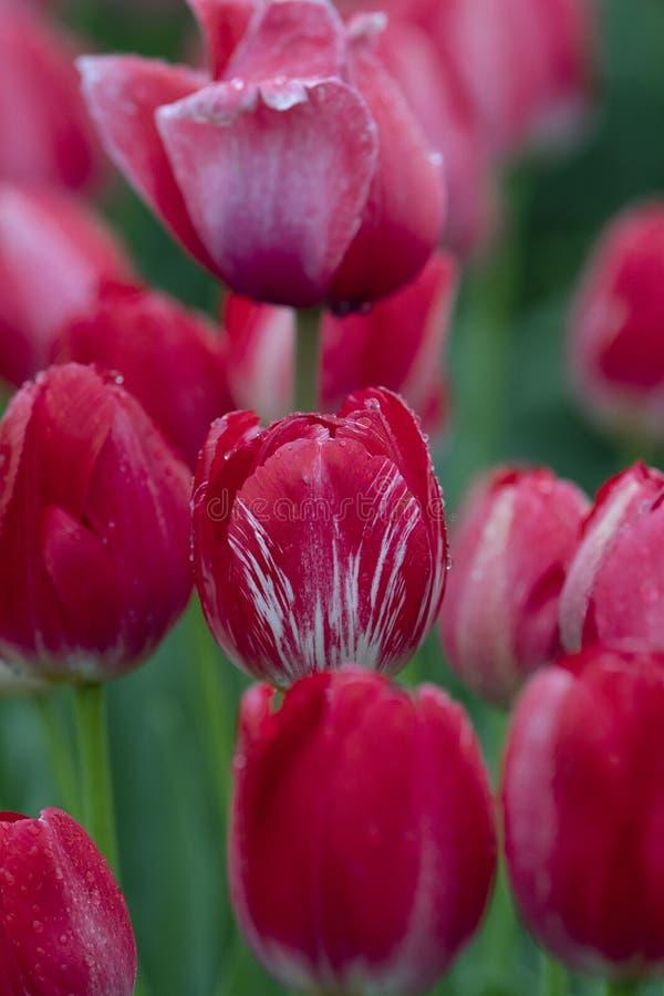 Röda tulpan i fält med regndroppar tätt upp royaltyfria foton