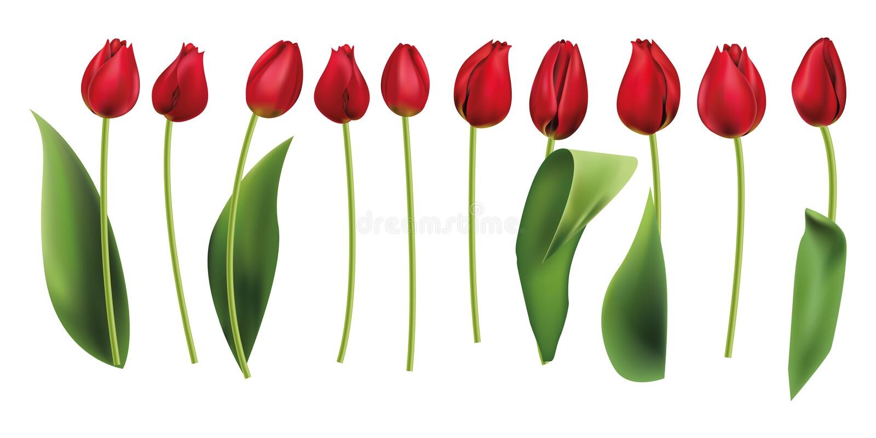 Röda tulpan isolerade realistiskt royaltyfri illustrationer