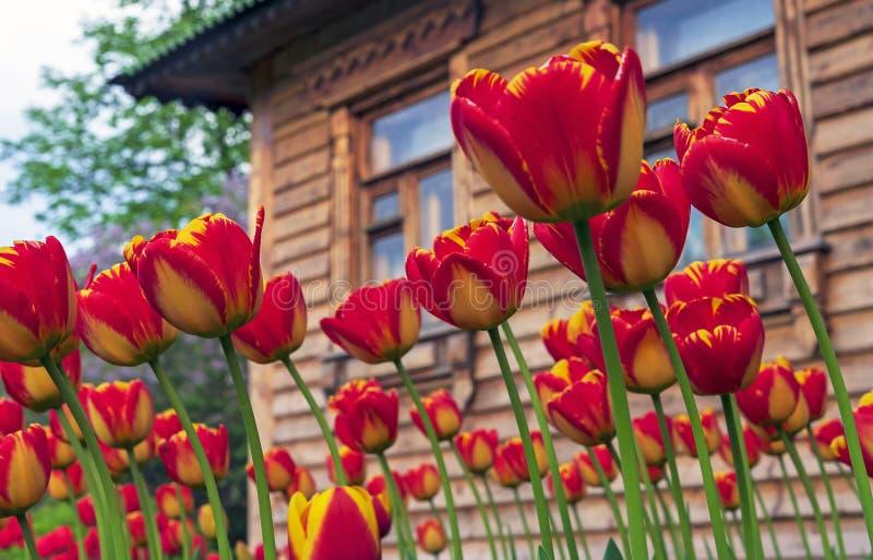 Röda tulpan med en gul gräns mot bakgrunden av ett trähus arkivfoto