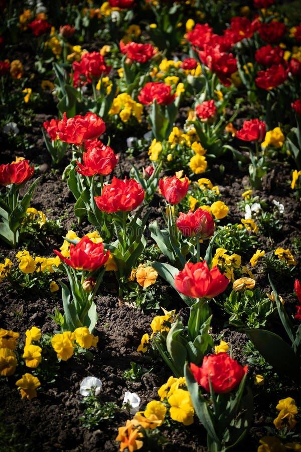 Röda tulpan och gula blommor i modell arkivbild