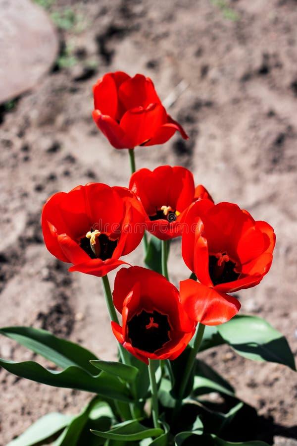 Röda tulpan på ett blomsterrabattslut upp arkivfoton
