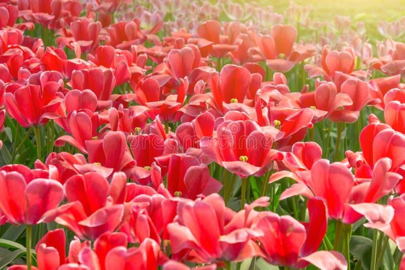 Röda tulpan som blommar i en parkera i en rabatt royaltyfri foto