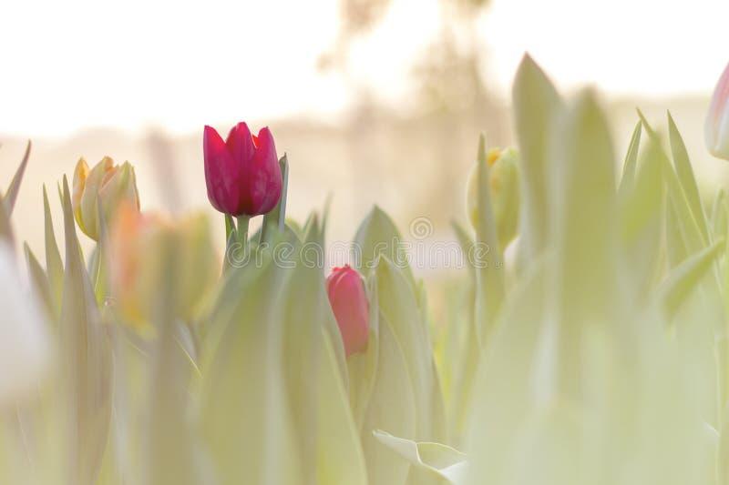 Röda tulpan som blommar i vårträdgård arkivfoto