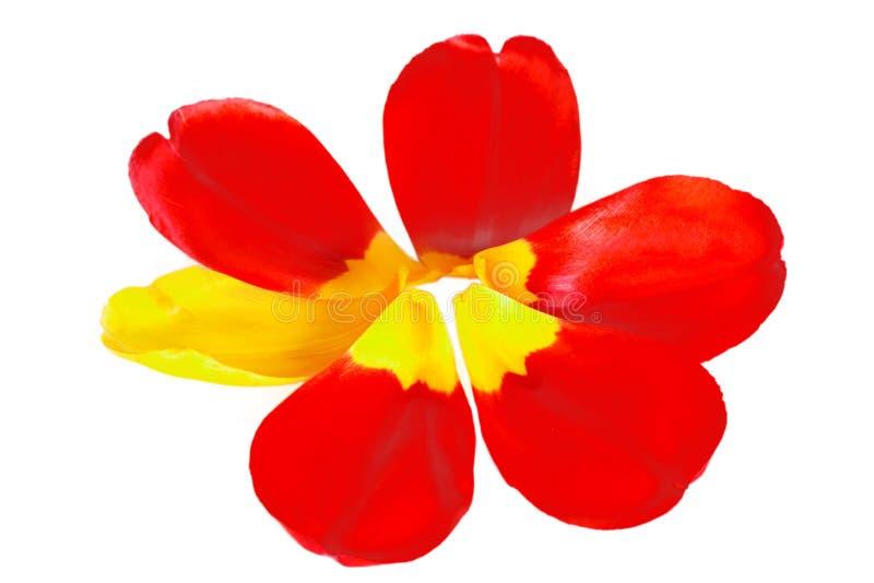 Röda tulpankronblad med ett gult kronblad i form av en blomma fotografering för bildbyråer