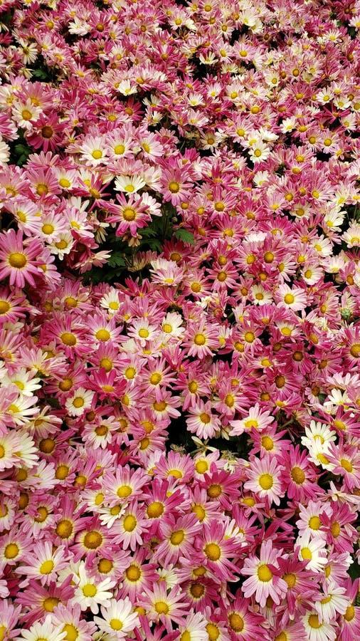röda tusenskönablommor med vit i en botanisk trädgård, en bakgrund och en textur royaltyfri bild