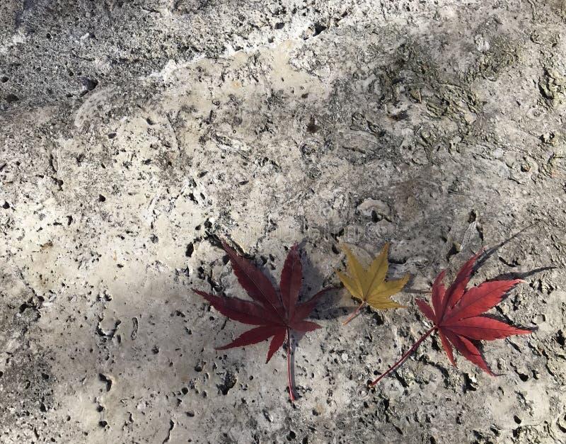 Röda två och gula lönnlöv en på grå färgcementgolv arkivfoto