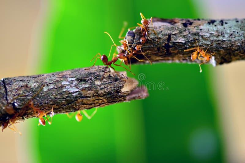 Röda vävaremyror, teamwork av myror som konstruerar bron arkivbild