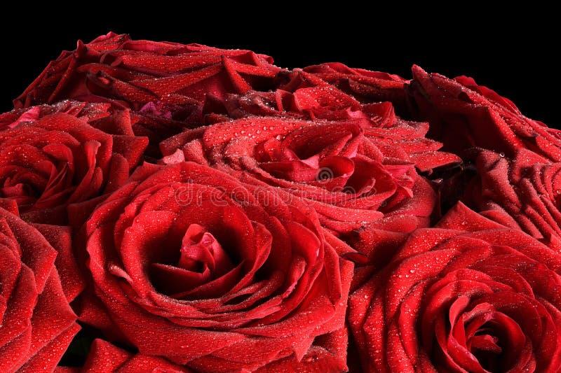 Röda våta rosblommor som isoleras på svart bakgrund arkivfoto