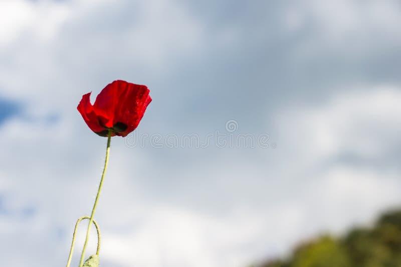 Röda vallmo blommar i bakgrunden för blå himmel arkivfoton