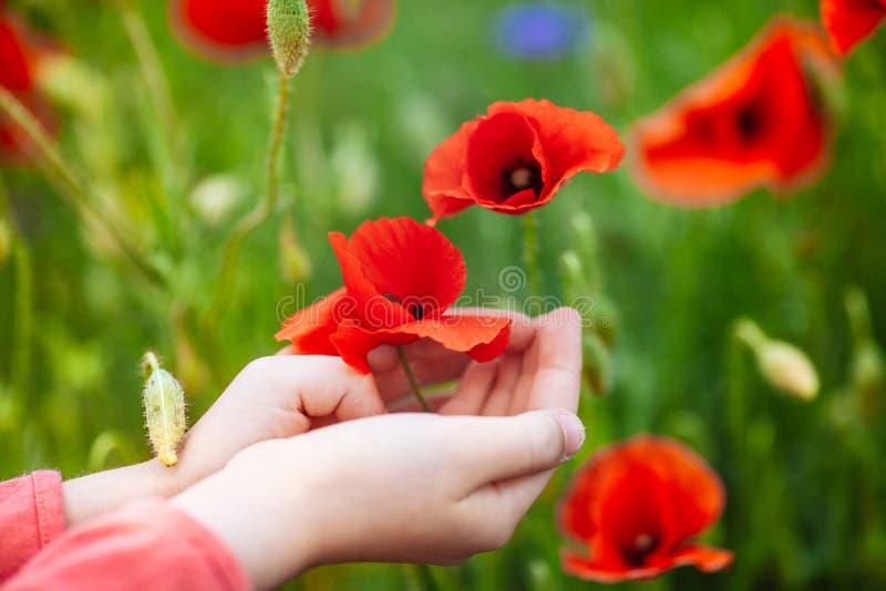 Röda vallmo i händerna av en flicka fotografering för bildbyråer