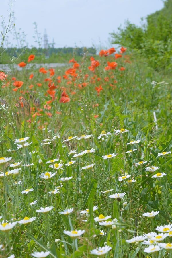 Röda vallmo och vita lösa tusenskönor på fältet, bland grönt gräs swallowtail f?r sommar f?r fj?rilsdaggr?s solig vildblommar royaltyfri fotografi