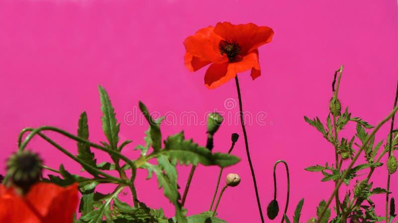 Röda vallmo på en karmosinröd bakgrund royaltyfria bilder