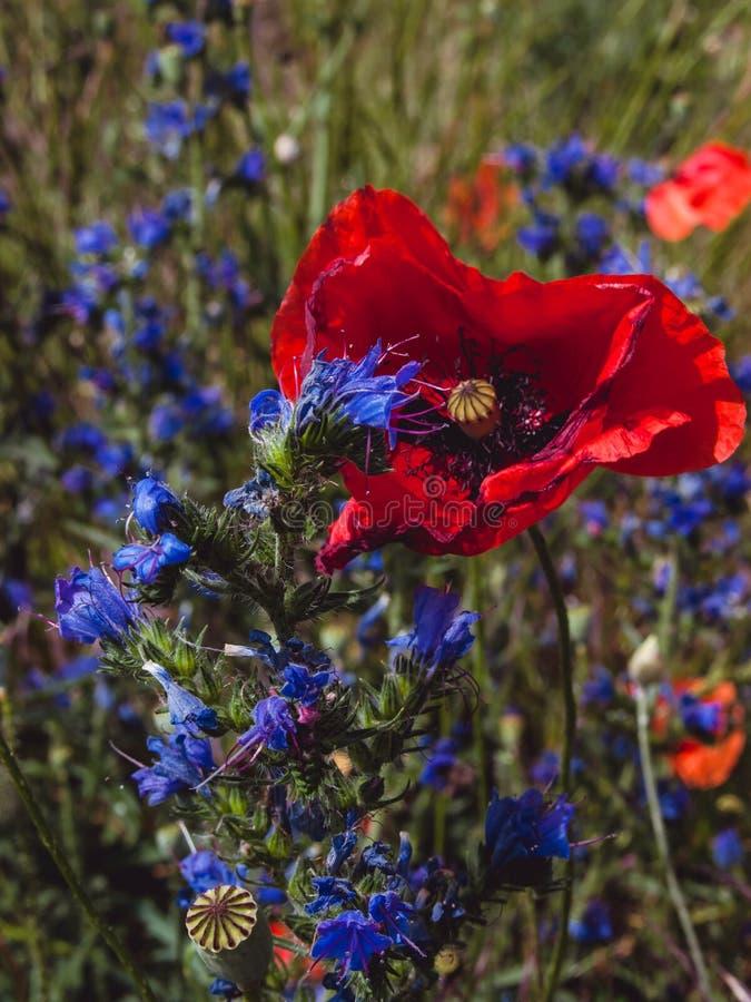 Röda vallmoblomma- och blåttvildblommor arkivfoton
