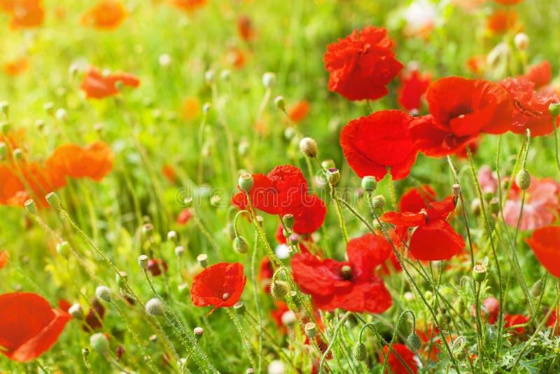 Röda vallmoblommor blomstrar, gult solljus på suddigt bakgrundsslut för grönt gräs upp, det härliga vallmofältet i blom royaltyfria foton