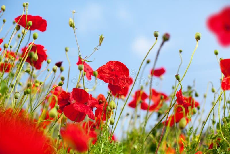 Röda vallmoblommor blomstrar på grönt gräs, och sätter in det suddiga bakgrundsslutet för blå himmel upp, härliga blommande vallm royaltyfri foto