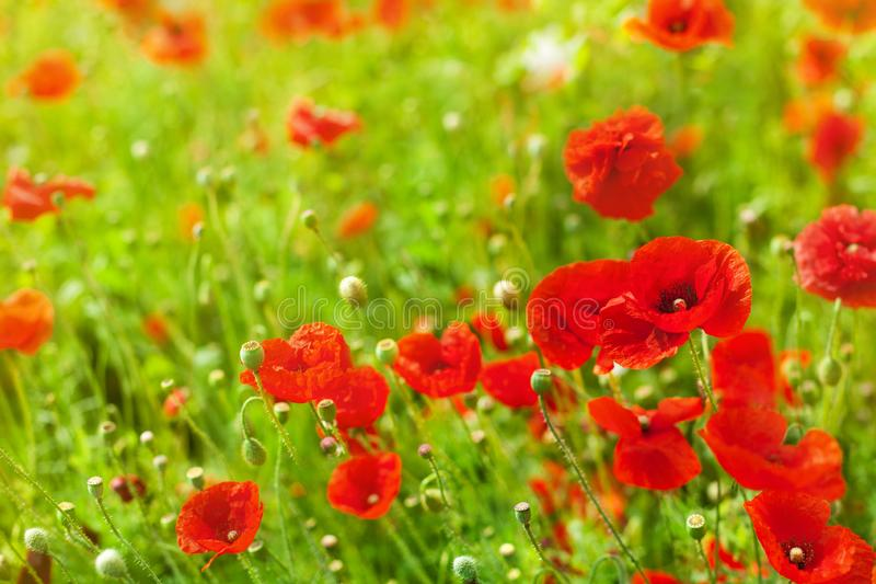 Röda vallmoblommor i blom, gult solljus på den suddiga bakgrundscloseupen för grönt gräs, härlig vallmofältblomning royaltyfria foton