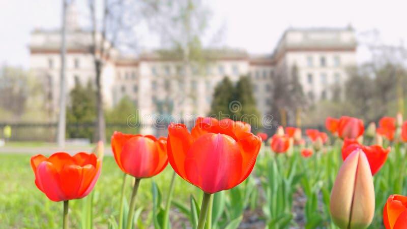 Röda vibrerande tulpanblommor i universitetsområdet av Moskvauniversitetet i vår royaltyfri foto