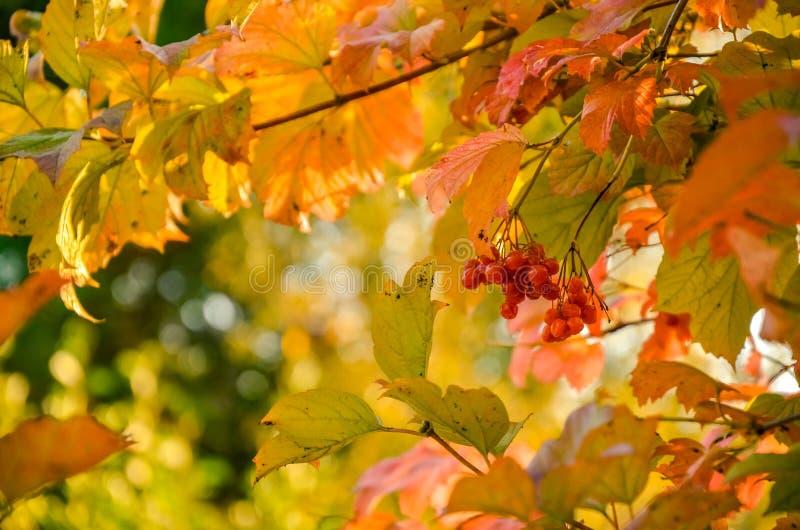 Röda Viburnumbär i trädet royaltyfria bilder