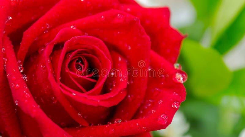 Röda vita blommor för ros och i bukett royaltyfria bilder