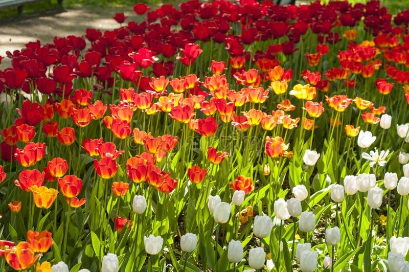 Röda, vita och gula tulpan i parkerar under tulpanfestival i St Petersburg färgrika blommor fotografering för bildbyråer