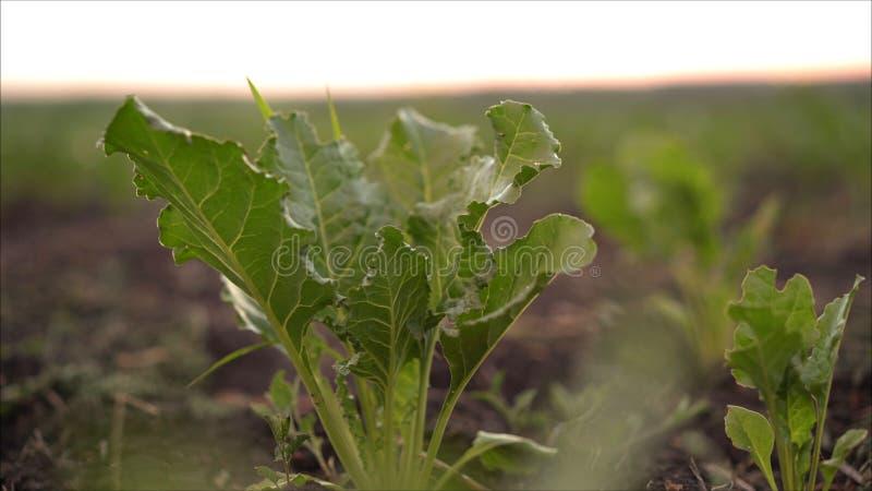 Rödbeta växer i fältet Fält med beta Växten är en beta i fältet i aftonen på solnedgången arkivfoto