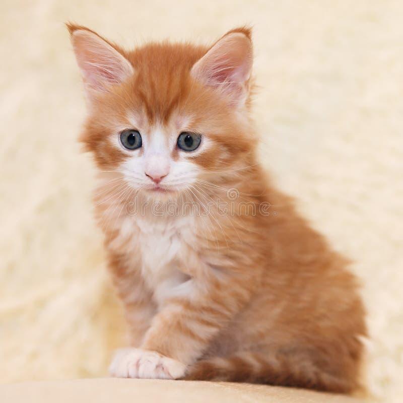 Rödhårig Maine Coon kattunge arkivfoton