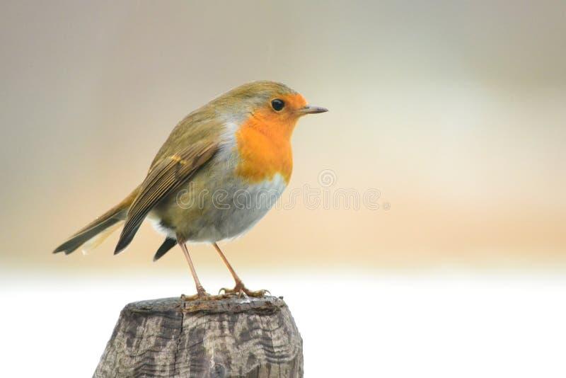 Rödhakefågel på en pol royaltyfri bild