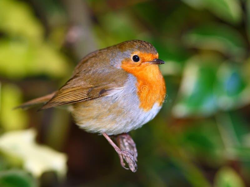 Rödhakefågel på filialen royaltyfri fotografi