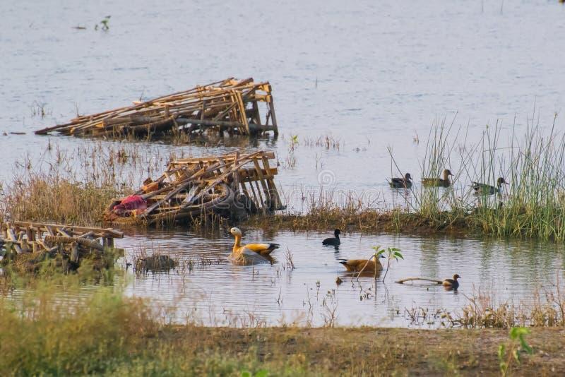 Rödlätta shelducks i förorenad våtmark av Indore royaltyfri fotografi