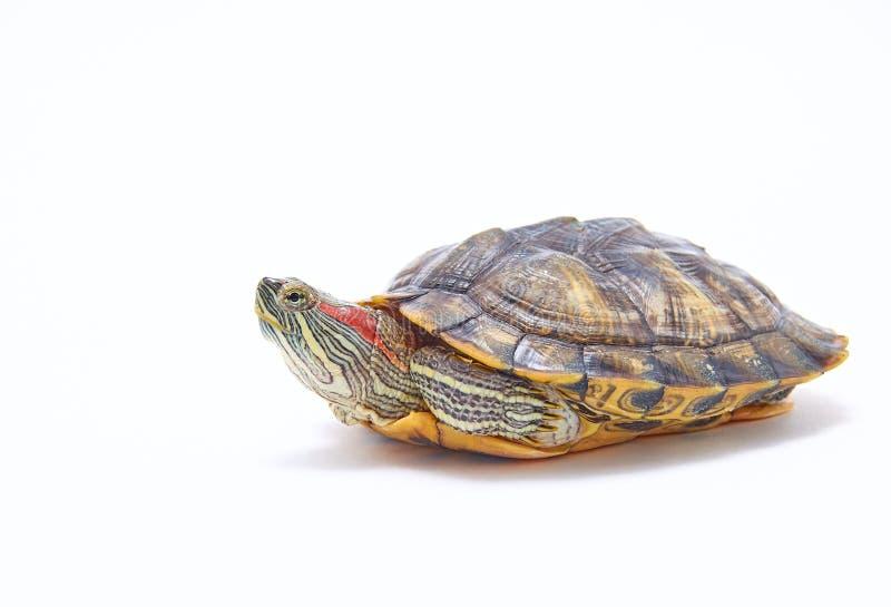 Rödsköldpadda, Trachemys scripta på vit bakgrund Gulbukad vattensköldpadda Stäng arkivbilder