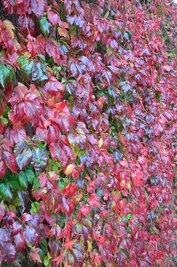 rödvit höst i sandbach royaltyfri foto