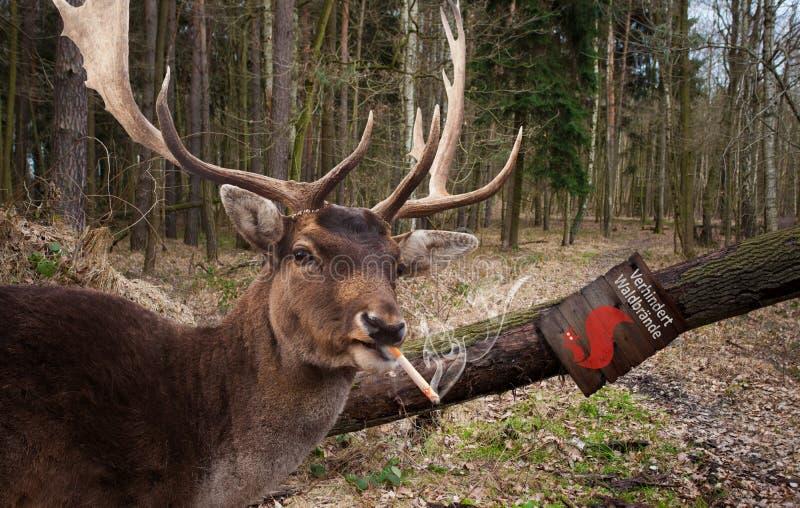 Röka hjortar royaltyfri foto