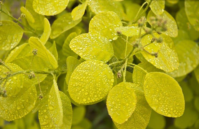 Rökbuske - Cotinuscoggygria med vattendroppe royaltyfri foto