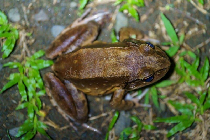 Rökig djungelgroda ( Leptodactylus pentadactylus) i Csota Rica fotografering för bildbyråer