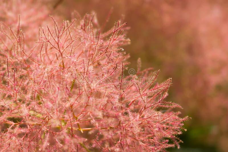 Rökträdet med rosa fluffiga blommor och det röda riset stänger sig upp royaltyfri bild