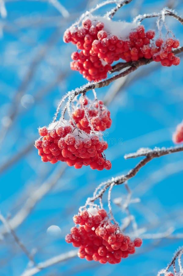 Rönn i rimfrost royaltyfri fotografi