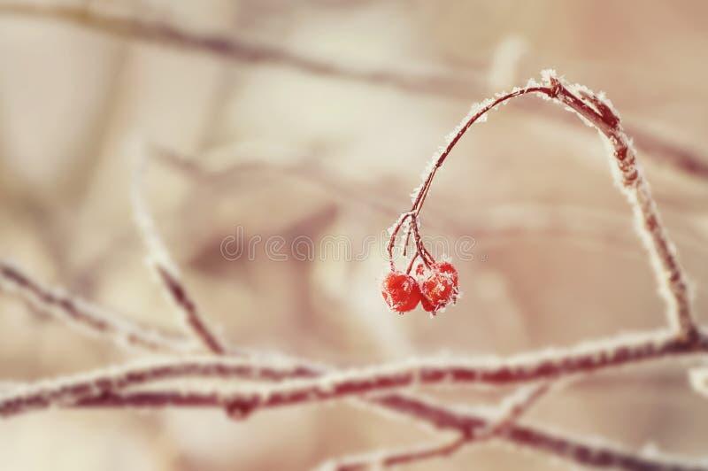 Rönn i rimfrost arkivbilder