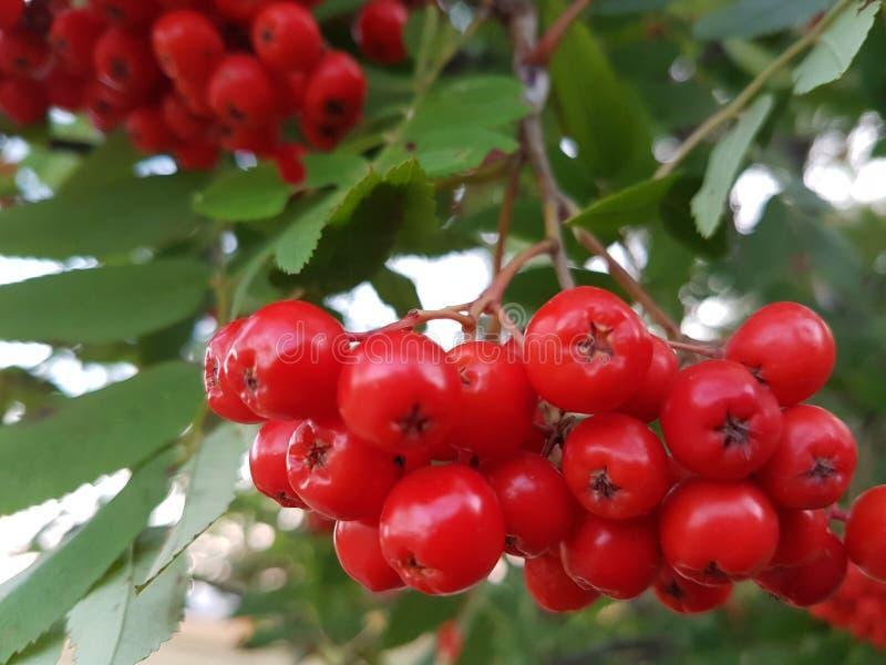 Download Rönnbär arkivfoto. Bild av trevligt, tree, natur, foto - 76702612