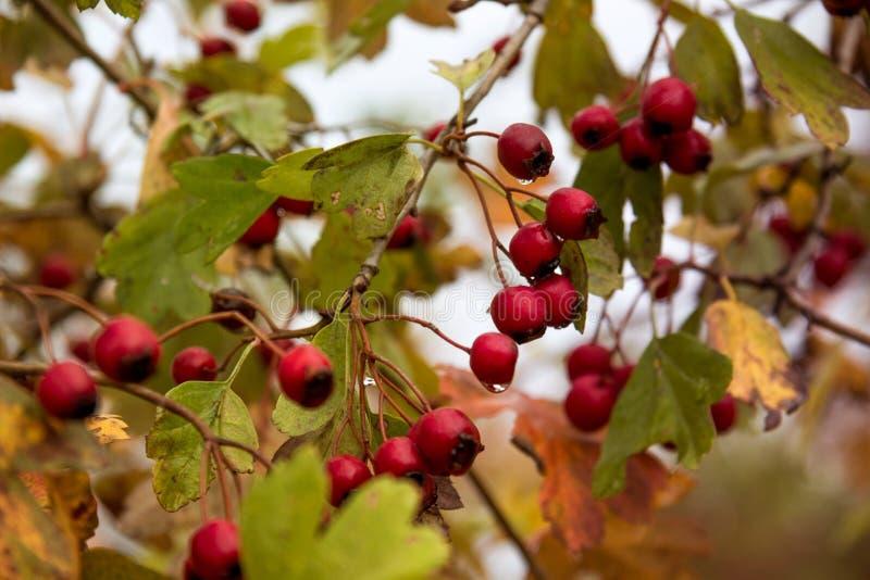 Rönnbär med dagg arkivbild
