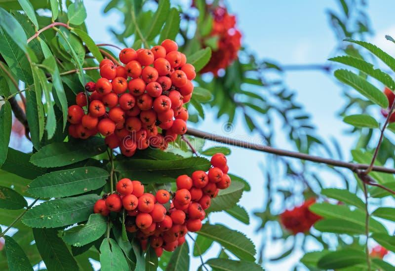 Rönnbär på ett träd i en stad parkerar Klungor av rönnbär på bakgrunden av grön lövverk royaltyfri fotografi