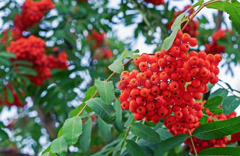 Rönnbär på ett träd i en stad parkerar Klungor av rönnbär på bakgrunden av grön lövverk royaltyfri foto