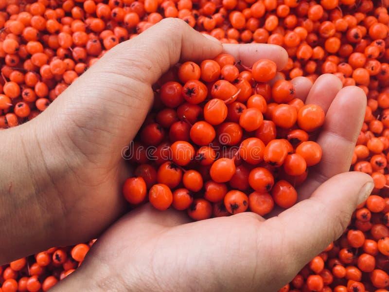 Rönnbär som ett symbol av förälskelse och lojalitet royaltyfri foto