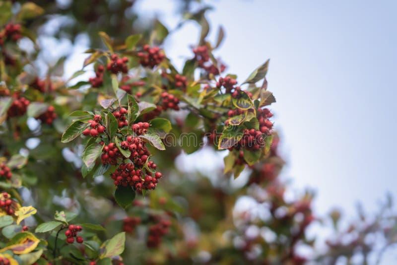 Rönnbärfilial Röd bergaska på bakgrund av en blå himmel Rött ashberry för höst royaltyfri bild