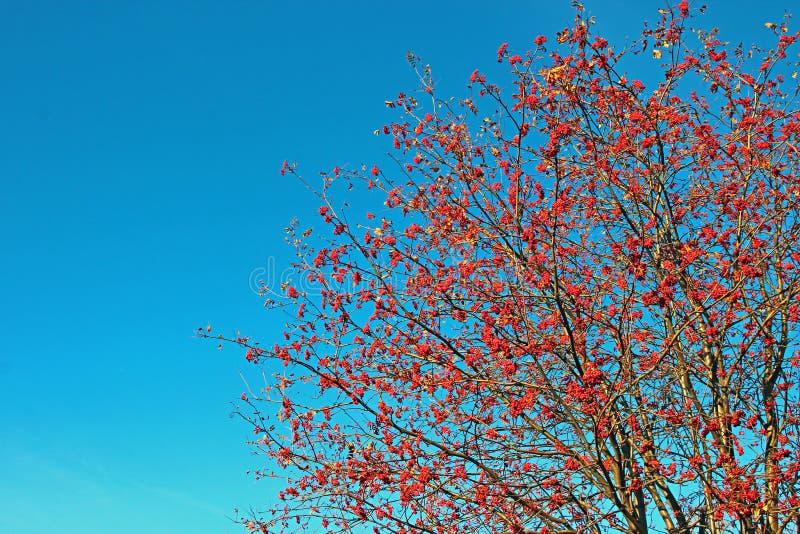 Rönnen förgrena sig med ljusa röda bär arkivfoton