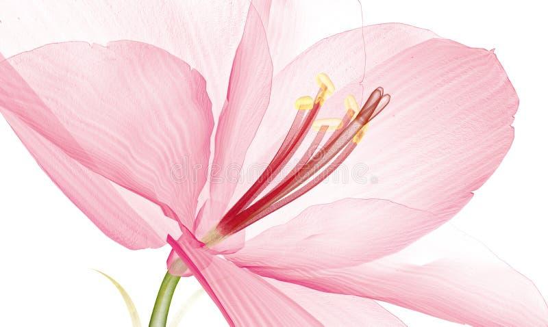 Röntga bilden av en blomma som dåligt isoleras på vit, Ameryllisen 3d royaltyfri fotografi